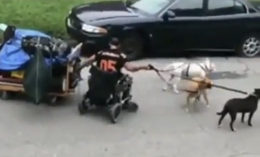 guy in wheelchair pulled by dogs