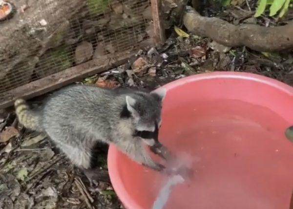 Raccoon hand washing