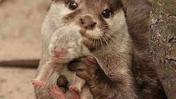 Sometimes you just need to see a pictue of an otter showing you her new baby meme