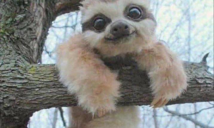 Photogenic baby sloth meme