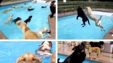 Dog pool party meme