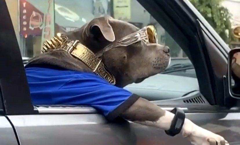 Super cool dog hangs out window