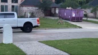 Tiger roams Texas neighborhood