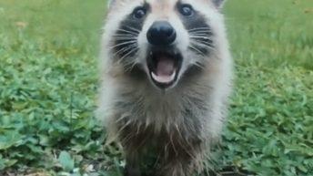 Woman befriends raccoon in backyard
