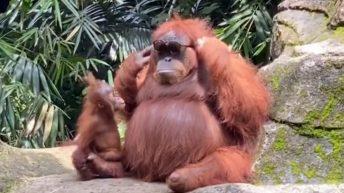 Ape tries on sunglasses