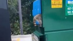 Catching raccoons in dumpster