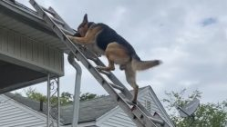 Dog and owner climbs ladder